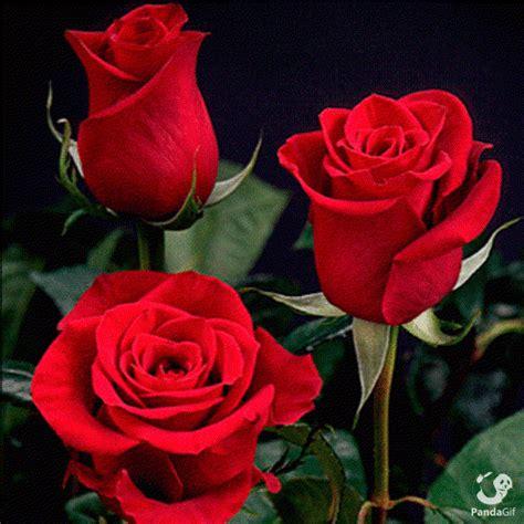 great beautiful red rose gifs  pandagif  beautiful