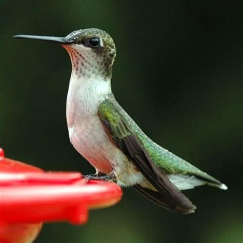hummingbird nectar recipe hummingbird pinterest