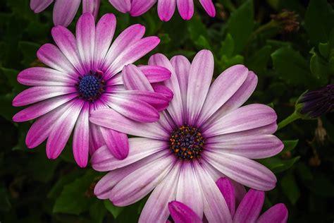 gambar galeri  gambar bunga teratai cantik pernik dunia
