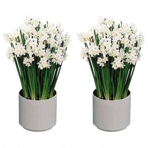 paperwhite flowering bulb grow kits set of 2