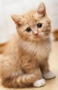 for cats siberian kitten puppy gallery