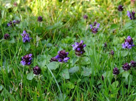 unkraut kleine weiße blüten braunelle garten heilpflanze herpes kosmetik prunella vulgaris rasen salbe unkraut