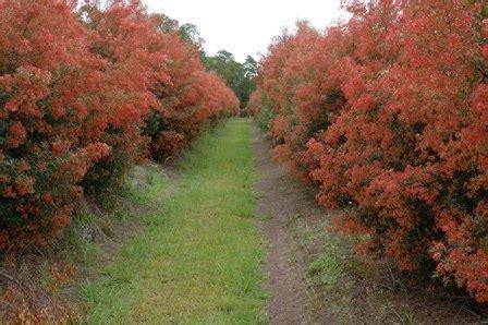 christmas bush agrifutures australia