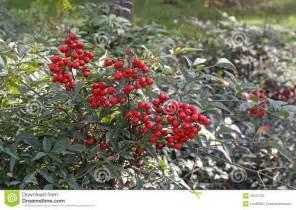 strauch mit roten beeren strauch mit roten beeren stockfoto bild busch sch 246 nheit 38375720