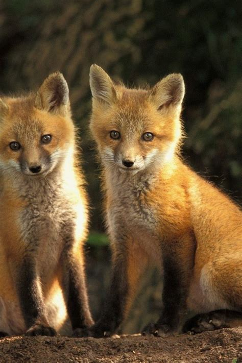 Animal Cubs Wallpapers - animals cubs foxes wallpaper allwallpaper in 9353 pc en