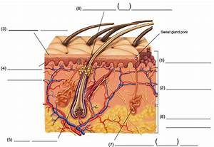 Skin And Accessory Organs In Medical Terminology Adaptive