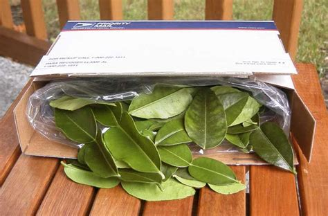 kaffir leaves lime importfood thai seller update recipe import bai fresh tequila