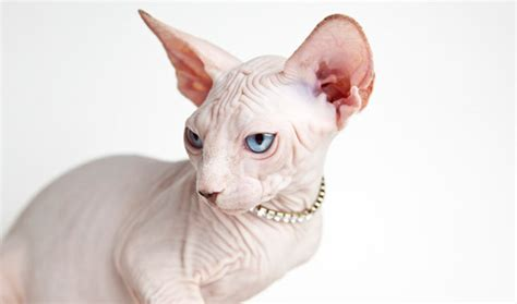 Sphynx Cat Breed Information