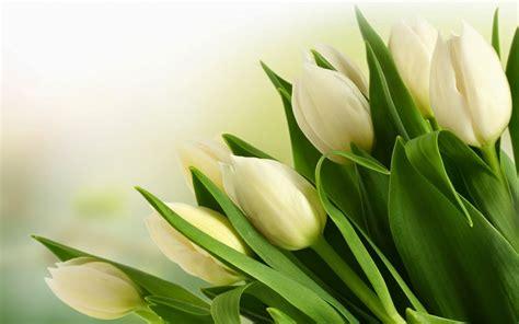 koleksi wallpaper wallpaper bunga 9 wallpaper tulip putih deloiz wallpaper