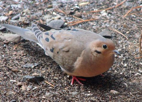 mourning doves a top game bird in much of the u s