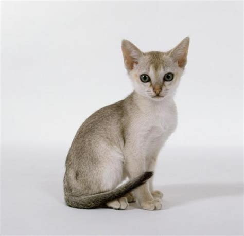 top  smallest cat breeds   world list description