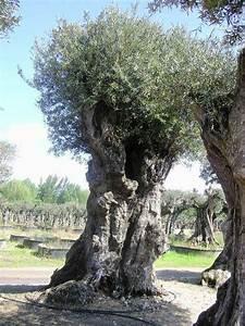 Planter Un Olivier En Pleine Terre : planter olivier planter un olivier with planter olivier ~ Farleysfitness.com Idées de Décoration