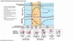 Explanation Of Wiggers Diagram