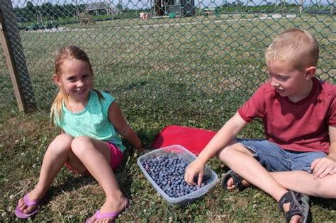 blueberries are ripe for the picking at paulus orchards