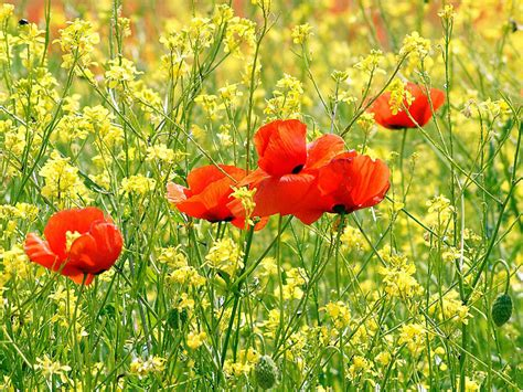 Wallpaper Poppy Flowers Desktop Wallpapers