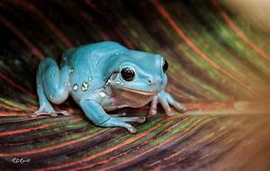 Macro Workshop - Australian Blue Phase White's Tree Frog