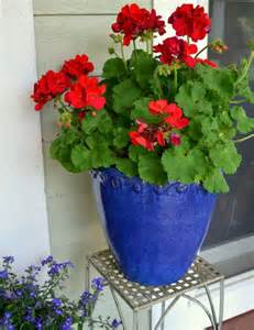 planting geraniums in pots geraniums in blue ceramic pots rw b nautical geraniums ceramics and