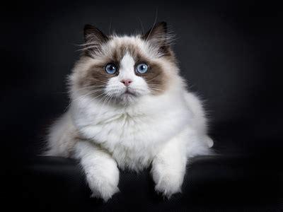 gatto ragdoll una delle migliori razze  gatti da