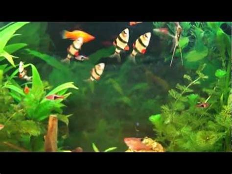 poisson aquarium d eau douce aquarium d eau douce poissons exotiques d eau douce poissons d eau d de eumobird