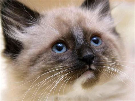 15 Beautiful Siamese Cat Pictures Mostbeautifulthings