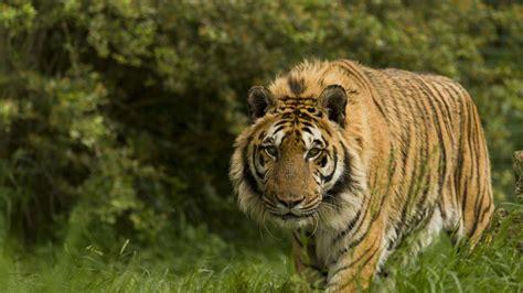 tiger wallpapers allfreshwallpaper