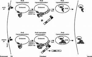 Model Of Rim8 Modification And Degradation  Under Acidic
