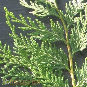 Leyland Zypresse Kaufen : 50 st zypresse leylandii bastard zypressen heckenpflanzen f r immergr ne hecke ebay ~ Frokenaadalensverden.com Haus und Dekorationen