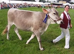 Brown Swiss Cow   Swiss   Pinterest