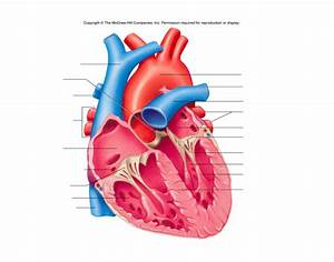 Anatomy Ii Heart Diagram