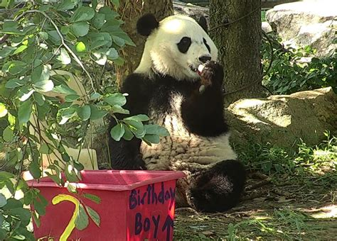 national zoo panda cub bei bei celebrates  birthday