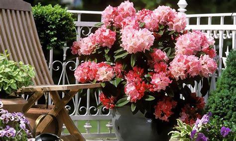 rododendro in vaso rododendro disponibile in 2 altezze groupon