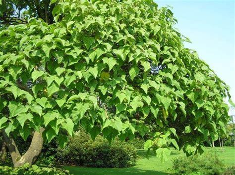 schnell wachsender baum mit breiter krone blauglockenbaum schnellwachsender schattenspender garten blauglockenbaum garten und garten