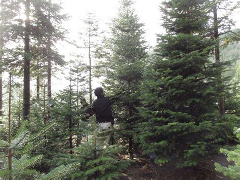 mountain creek christmas tree farm 98065 snoqualmie 6821