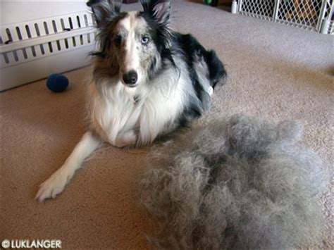 Shetland Sheepdog Shed A Lot by Image Gallery Sheltie Shedding