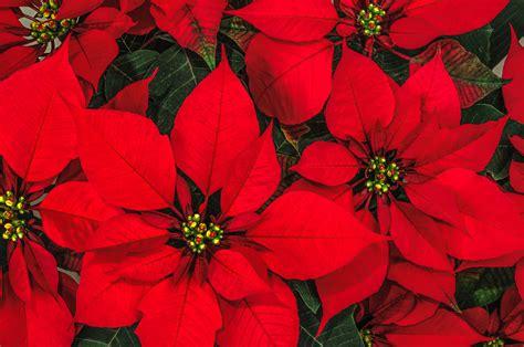 wie pflegt einen weihnachtsstern wie einen weihnachtsstern poinsettie pflegt