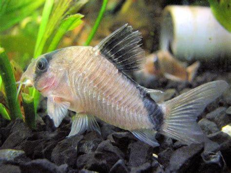 cory catfish species  freshwater aquariums