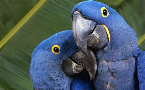 Blue Macaws Hd Wallpaper