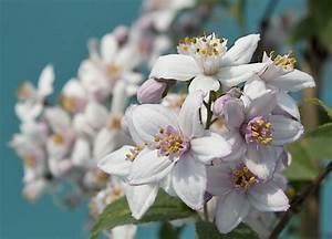 Rosen Kaufen Günstig : rosen deutzie deutzia hybrida mont rose g nstig online kaufen ~ Markanthonyermac.com Haus und Dekorationen