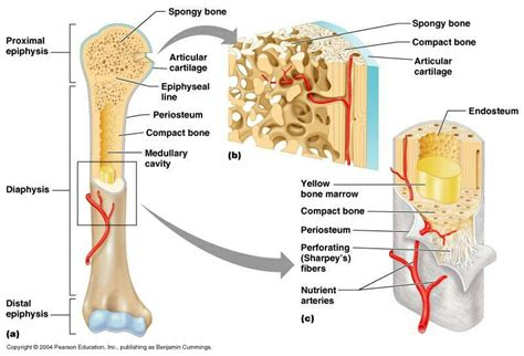 Basic Bone Diagram by Basic Bone Anatomy At West Florida High School Of Advanced