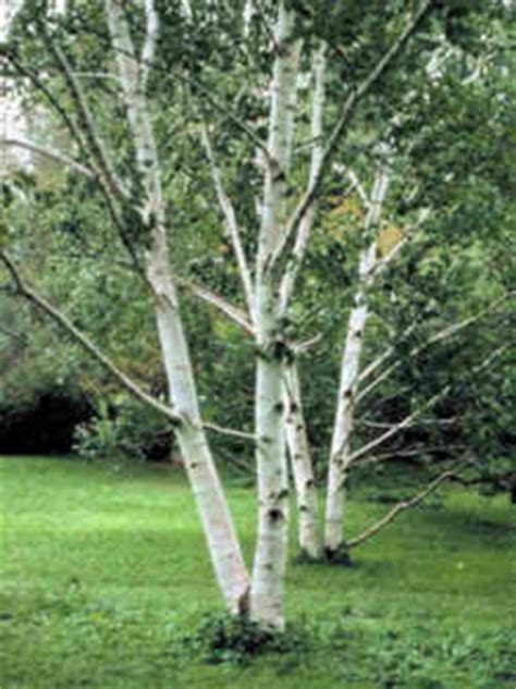 hampshire state tree white birch  paper birch