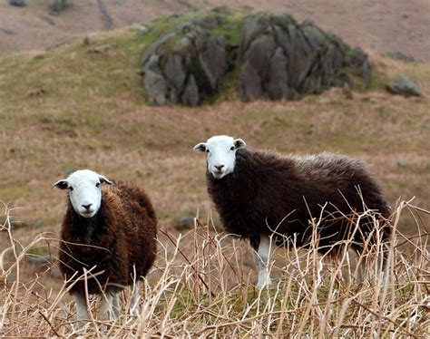photo cumbrian sheep herdwick sheep  image  pixabay