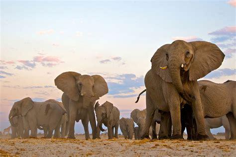 elephant african savannah