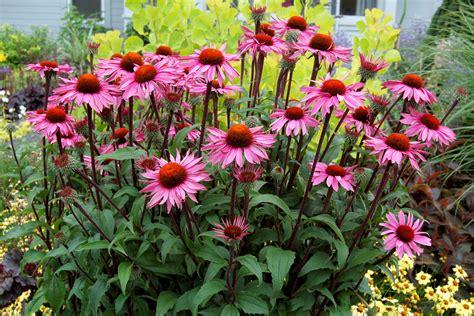 echinacea merlot echinacea merlot gp plants