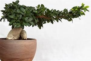 Bonsai Ficus Ginseng : bonsai ginseng a symbol for the asian culture bonsai ginseng ~ Buech-reservation.com Haus und Dekorationen