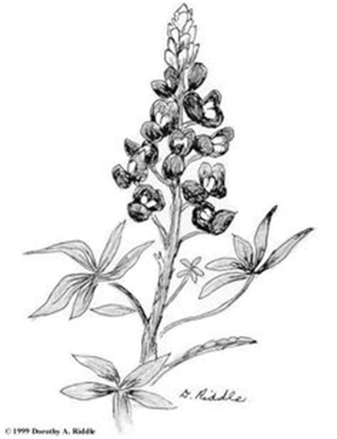 Texas Bluebonnet Flower Drawings | Projects to Try | Coloring pages, Flower coloring pages, Blue