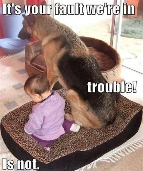 Funny German Shepherd Memes - german shepherd puppy funnies dog pictures funny dog memes cute animals pinterest
