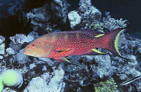 trout coronation variola marinethemes