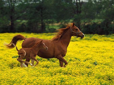 wallpapers de cavalos fundos de ecra de cavalos