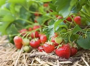 Erdbeeren Pflanzen Die Wichtigsten Tipps : erbeeren pflanzen wann ist die beste zeit und viele tipps ~ Lizthompson.info Haus und Dekorationen