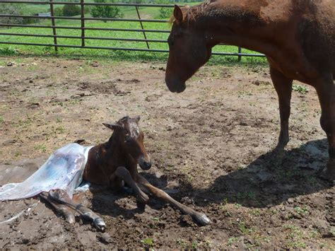baby born colt pregnant getting horse having method pregnancy pulling legs odds tales country thinking days chances